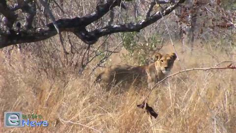 Rascally Lion Cub Takes a Spill and Frightens His Poor Sleeping Mother – Adorable!