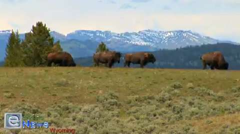 The Bison Herds of the Magnificent Grand Tetons