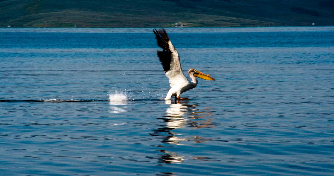 Watch: Ever Seen an American White Pelican Walk on Water? (Video)