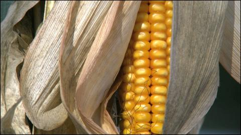 Open Ear Of Corn