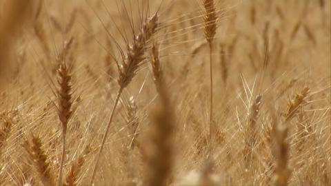 Wheat Rack Focus