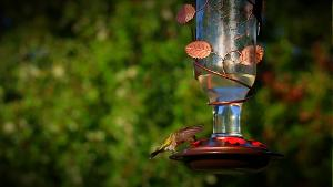 Hummingbirds in Oklahoma