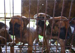 South Korean Dog Meat Farm Closes - Media Footage