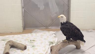 Bald eagle at Fund for Animals - Media B-Roll