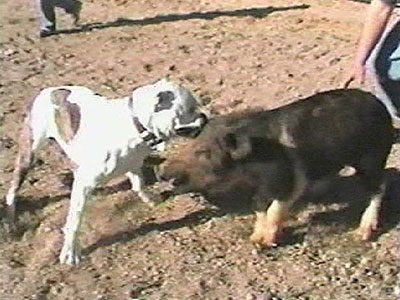 Hog Dog Fighting B-roll