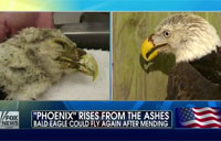 A Bald Eagle's Flight to Recovery
