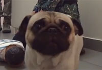 Pug Life in the Military