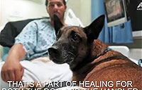 Military Dog Rocky Recovering from Combat Wounds