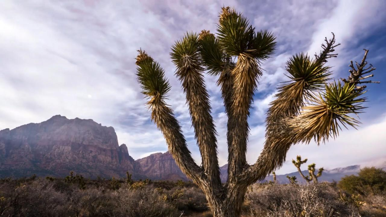 How Did the Joshua Tree Get its Name? | KCET