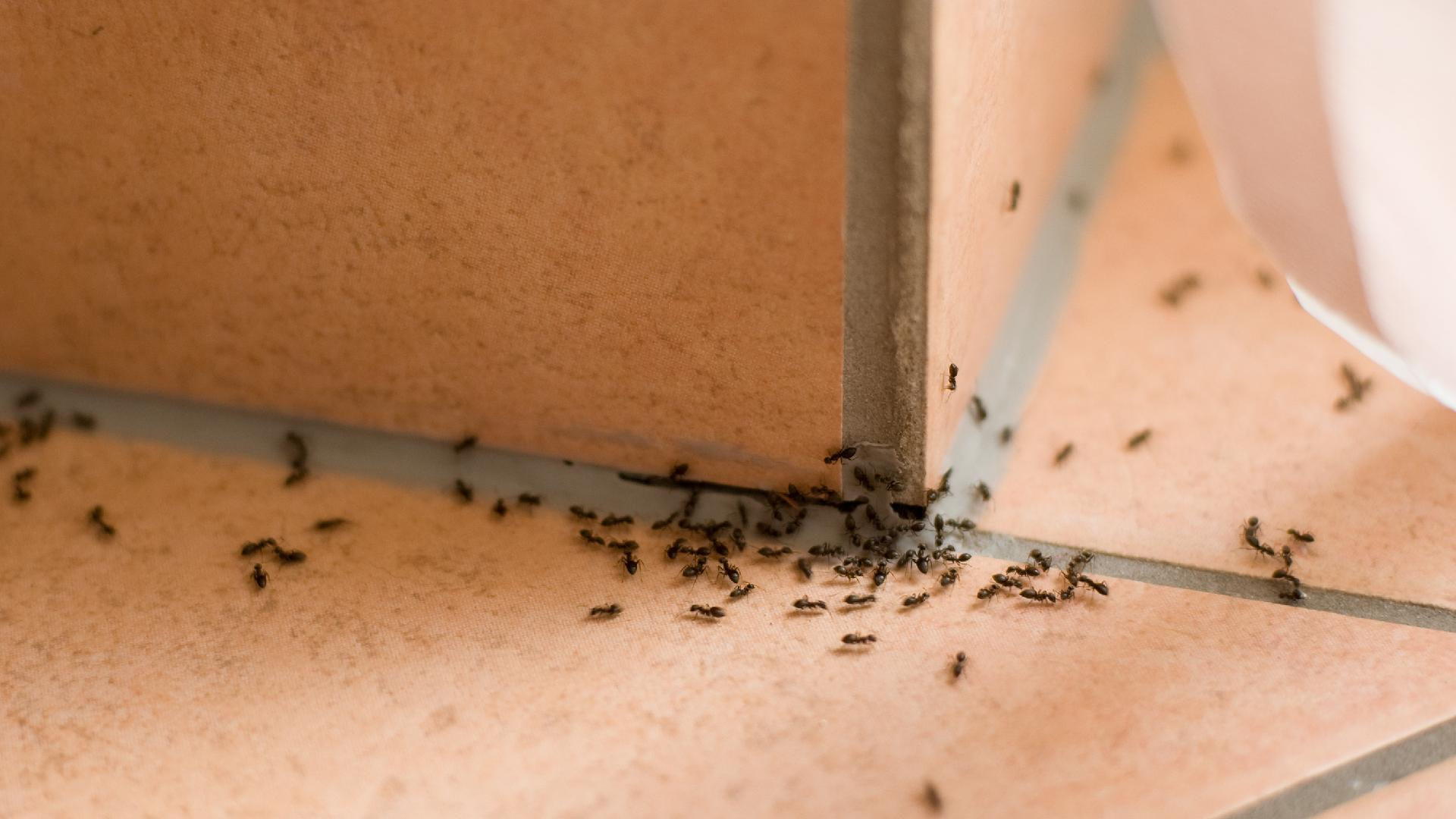 How to get rid of small ants in your home