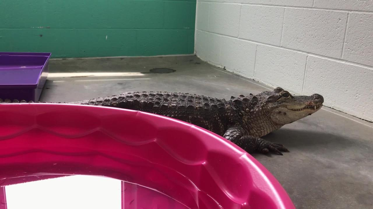 Newest alligator abandoned in city seems in foul mood over it