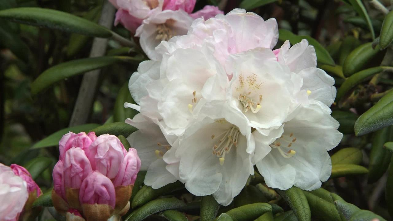 Why Wont My Rhododendrons Flower Gardenersworld