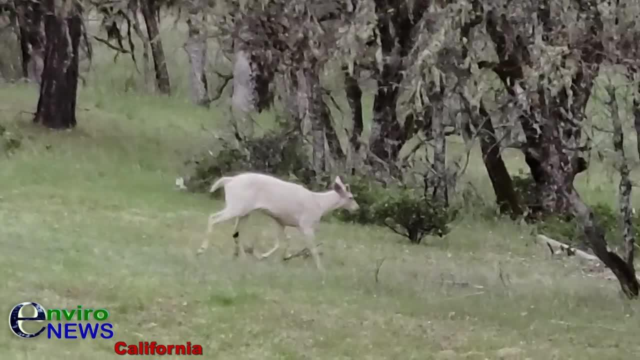 Video: EnviroNews Films Rare White Deer as More Amazing Wildlife Emerges During COVID-19 Lockdowns