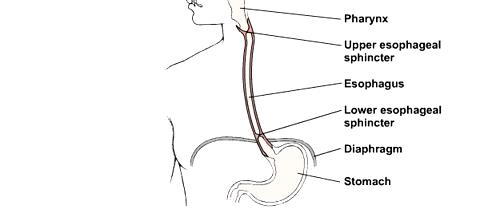 how the esophagus works