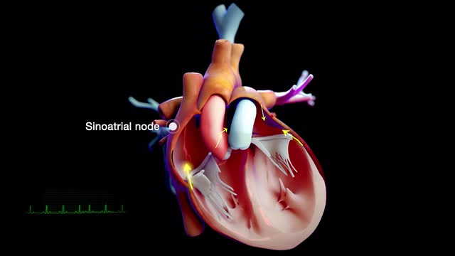 Overview of the Heart and Blood Vessels