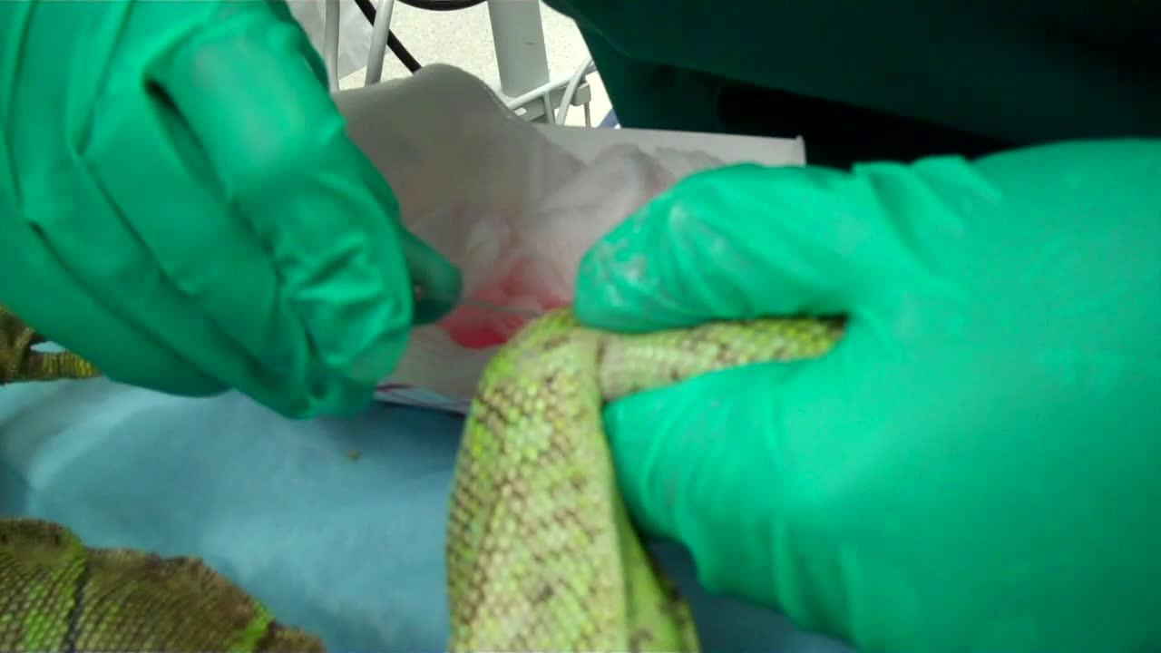 Intraosseous catheter placement, iguana