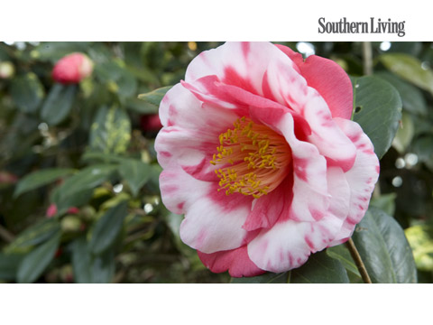 The complete guide to camellias southern living mightylinksfo