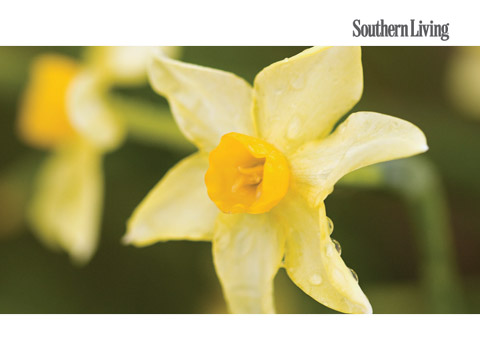 Daffodil flower facts southern living mightylinksfo